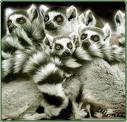 Lemur_9.jpg